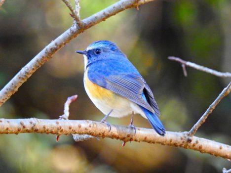 青い鳥チョコレート